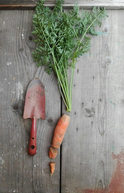 Le carote sono l'ortaggio più facile da raccogliere?