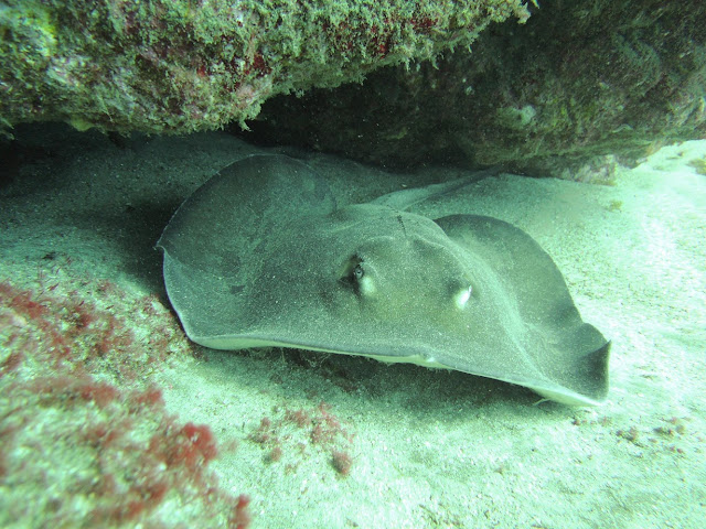 Photo of a round ray in Arinaga Marine Reserve
