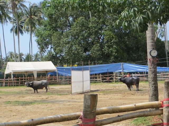 ринг для боев быков на Маенаме