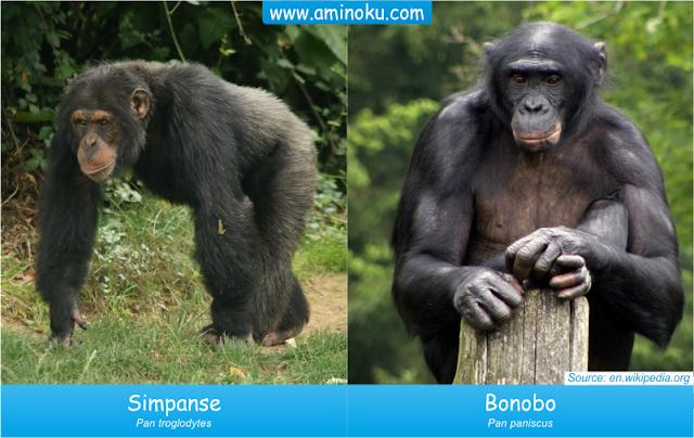 Simpanse dan bonobo