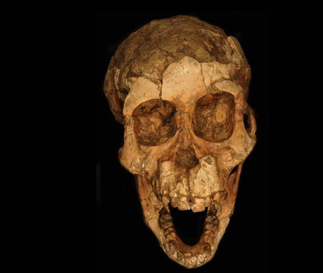 LaporanPenelitian.com Young Australopithecus afarensis walks two feet, but still climbs tree