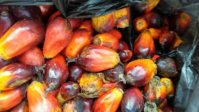 pengalaman bekerja di perkebunan kelapa sawit