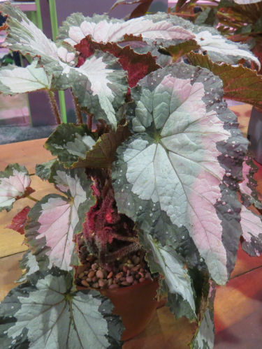 Philadelphia Flower Show 2019- Begonia