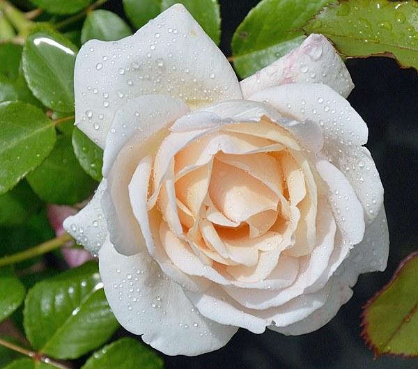 Martine Guillot сорт розы фото Минск саженцы купить