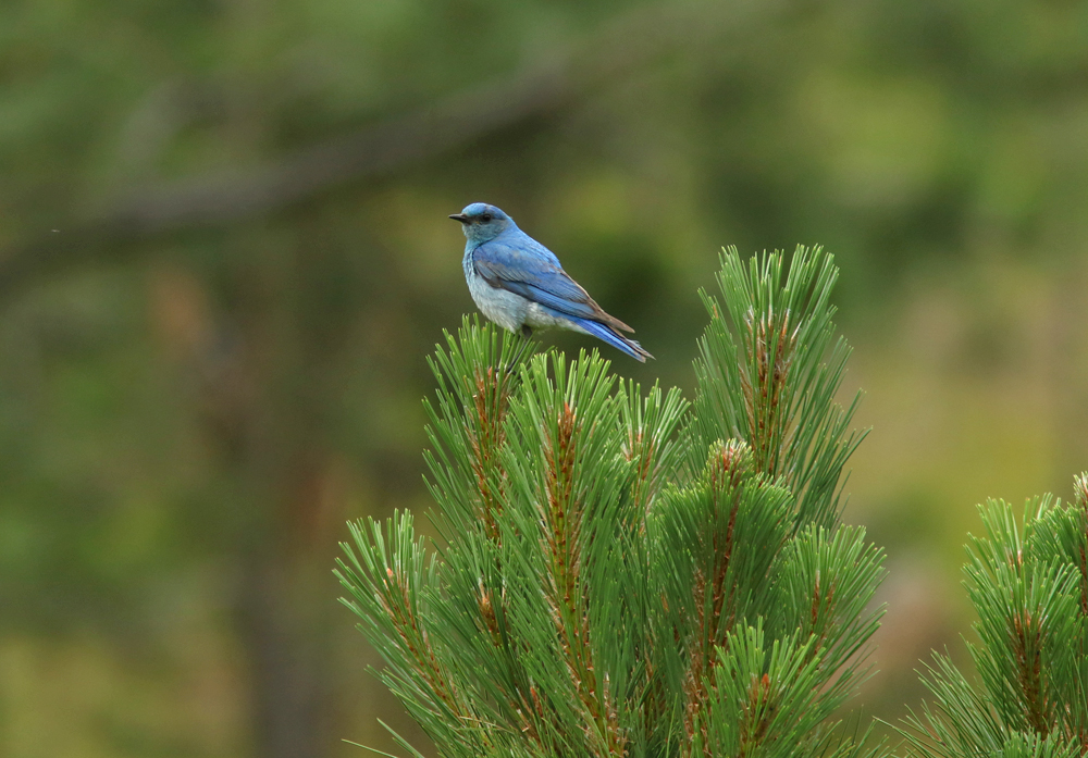 Ax Bluebird