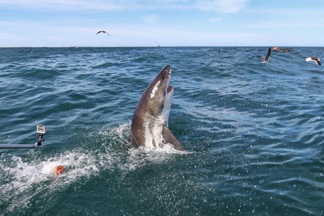 Nadando con el Tiburón Blanco en Gansbaii, Sudáfrica