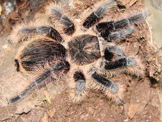 brachypelma albopilosum lifespan, brachypelma albopilosum size, brachypelma albopilosum bite, brachypelma albopilosum handling, brachypelma albopilosum care, brachypelma albopilosum for sale, brachypelma albopilosum growth rate, brachypelma albopilosum feeding, brachypelma albopilosum female for sale, brachypelma albopilosum sling, brachypelma albopilosum alter, brachypelma albopilosum arachnea, aggressive brachypelma albopilosum, brachypelma albopilosum allevamento, brachypelma albopilosum aufzucht, brachypelma albopilosum allegro, brachypelma albopilosum artenschutz, brachypelma albopilosum aggressiv, brachypelma albopilosum breeding, brachypelma albopilosum behaviour, brachypelma albopilosum burrowing, brachypelma albopilosum buy, brachypelma albopilosum beginner, brachypelma albopilosum biss, brachypelma albopilosum beleuchtung, brachypelma albopilosum bock, brachypelma albopilosum bodengrund, brachypelma albopilosum (curly hair tarantula), brachypelma albopilosum curly hair care sheet, brachypelma albopilosum cena, brachypelma albopilosum chov, brachypelma albopilosum cites, brachypelma albopilosum sling care sheet, brachypelma albopilosum sling care, brachypelma albopilosum tarantula care sheet, brachypelma albopilosum (honduran curly hair), brachypelma albopilosum diet, brachypelma albopilosum description, brachypelma albopilosum egg sac, brachypelma albopilosum eladó, brachypelma albopilosum not eating, brachypelma albopilosum terrarium einrichtung, brachypelma albopilosum eat, brachypelma albopilosum eingegraben, brachypelma albopilosum for sale uk, brachypelma albopilosum female, brachypelma albopilosum for sale philippines, brachypelma albopilosum facts, brachypelma albopilosum feeding guide, brachypelma albopilosum füttern, brachypelma albopilosum forum, brachypelma albopilosum gender, brachypelma albopilosum geschlechtsbestimmung, brachypelma albopilosum geschlecht, brachypelma albopilosum opis gatunku, brachypelma albopilosum geschlechtsreife, brachypelma albopilosum gräbt nicht, brachypelma albopilosum giftig, brachypelma albopilosum größe, brachypelma albopilosum habitat, brachypelma albopilosum housing, brachypelma albopilosum humidity, brachypelma albopilosum hybrid, brachypelma albopilosum haltung, brachypelma albopilosum haltungsbedingungen, brachypelma albopilosum natural habitat, brachypelma albopilosum info, jual brachypelma albopilosum, brachypelma albopilosum jad, brachypelma albopilosum kaufen, brachypelma albopilosum kaina, brachypelma albopilosum kokon, brachypelma albopilosum kraushaarvogelspinne, brachypelma albopilosum kopen, brachypelma albopilosum - ptasznik kędzierzawy, brachypelma albopilosum gdzie kupic, brachypelma albopilosum lebenserwartung, brachypelma albopilosum l5, brachypelma albopilosum l6, brachypelma albopilosum l3, brachypelma albopilosum l1, brachypelma albopilosum l2, brachypelma albopilosum l8, brachypelma albopilosum l10, brachypelma albopilosum male lifespan, brachypelma albopilosum l7, brachypelma albopilosum molting, brachypelma albopilosum male, brachypelma albopilosum male or female, brachypelma albopilosum mating, brachypelma albopilosum mature size, brachypelma albopilosum maturity, brachypelma albopilosum max size, brachypelma albopilosum mouse, brachypelma albopilosum männchen, brachypelma albopilosum frisst nicht, brachypelma albopilosum opis, brachypelma albopilosum wie oft füttern, brachypelma albopilosum price, brachypelma albopilosum poisonous, brachypelma albopilosum premolt, brachypelma albopilosum pet, brachypelma albopilosum wiki pets, brachypelma albopilosum terrarium com pl, ptasznik brachypelma albopilosum,