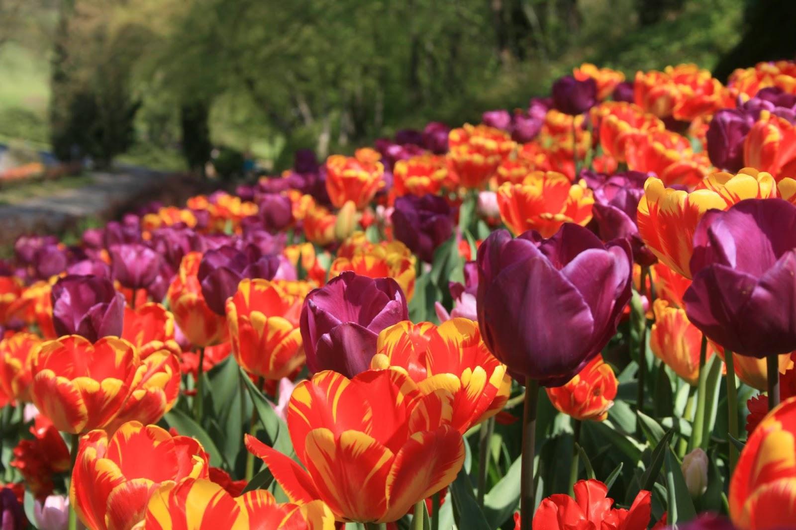 Tulipanomania al parco giardino sigurt valeggio sul mincio vr dal 6 marzo al 30 aprile - Parco giardino sigurta valeggio sul mincio vr ...