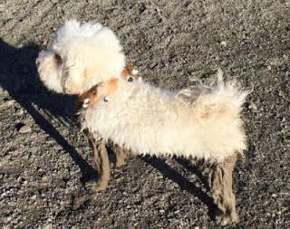 perro maltes manchado