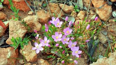 En matorral mediterráneo: Centaurium quadrifolium