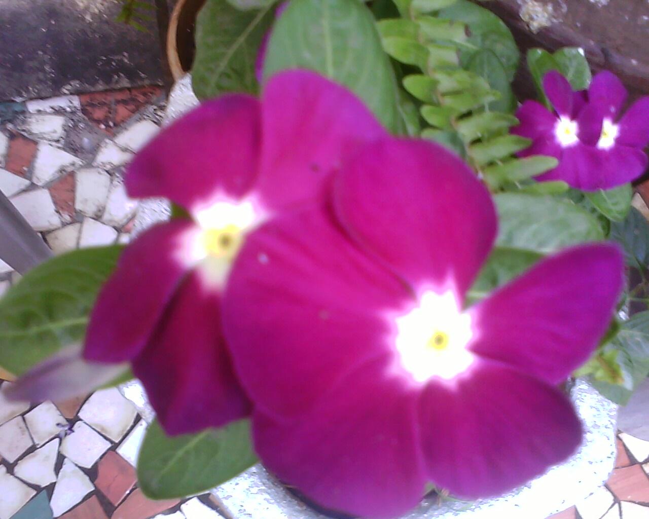 Garden Care Simplified Ever Green Plant The Flowering Sada Phuli