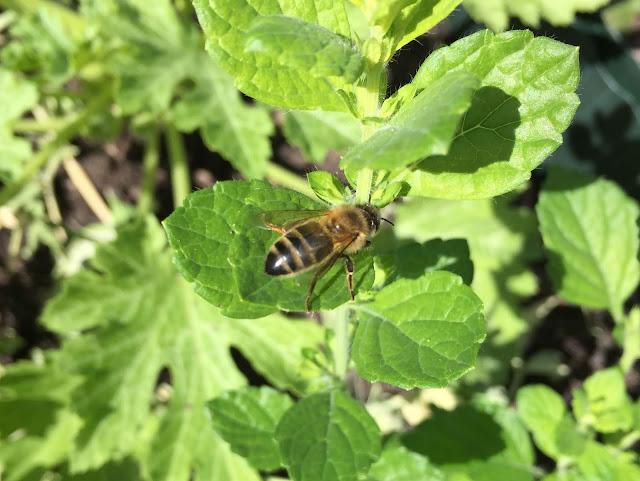Biene auf Zitronenmelisse