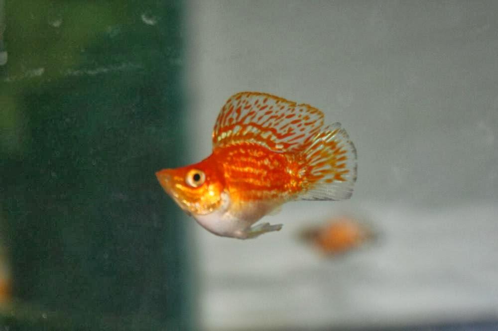 Balloon Molly Fish Poelicia Latipinna Sailfin Molly Tropical Fish