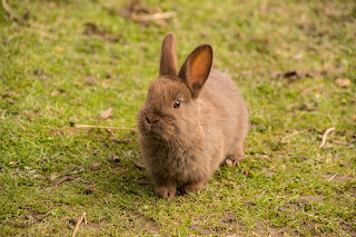 The best dwarf rabbit breeds, adopting a baby rabbit, raising a dwarf rabbit,