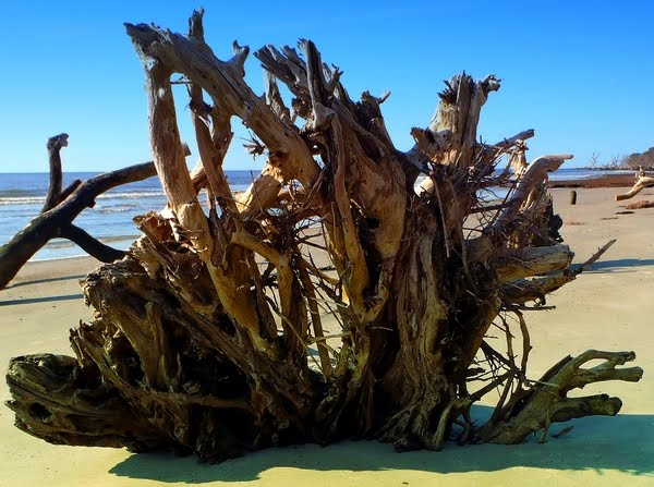 Driftwood at Hunting Island State Park beach in South Carolina with photo by DearMissMermaid.com