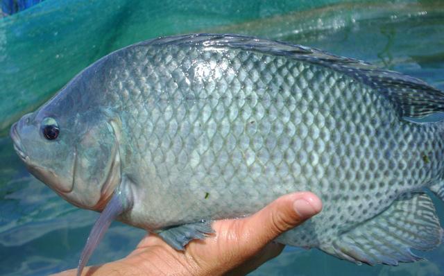 13 Manfaat Ikan Nila Bagi Kesehatan