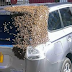 Honey bees swarm at the back of the car to rescue the queen bee