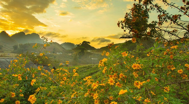 Northwest Vietnam attracts visitors by the beauty of wild sunflower or Tithonia diversifolia flowers 4