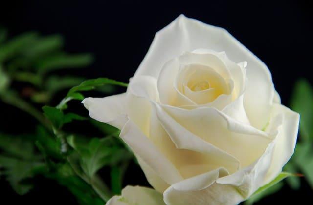 bunga mawar putih elok