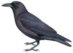 Gagak Hutan (Convus enca)