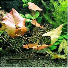 Ideal Freshwater Aquarium Plants