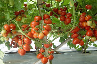 Ilustrasi Pohon Buah Tomat
