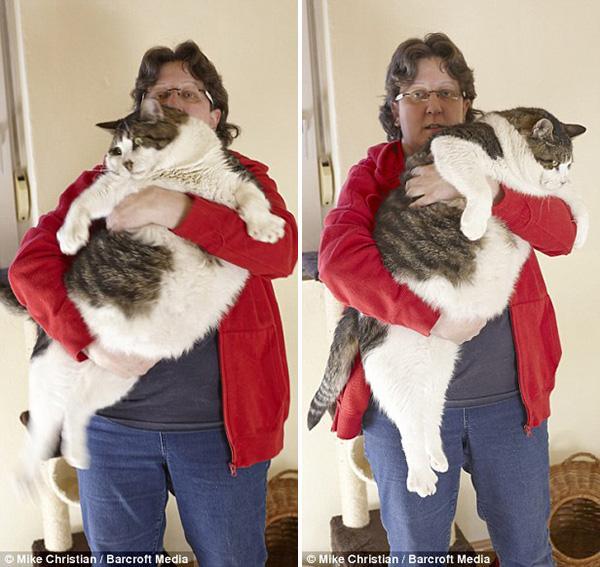 Chú mèo béo tới nỗi không thể đi lại mà phải dùng chân bò
