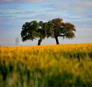 Dos árboles que sobreviven a la terrible deforestación que sufre Andalucia