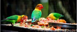pakan lovebird