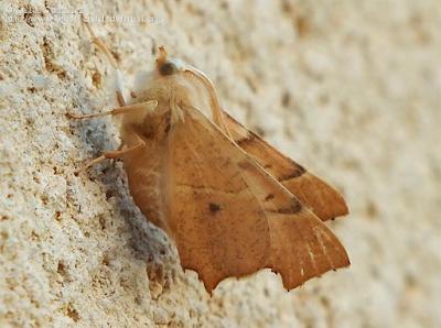 http://www.biodiversidadvirtual.org/insectarium/Ennomos-fuscantaria-(Haworth-1809)-img940352.html