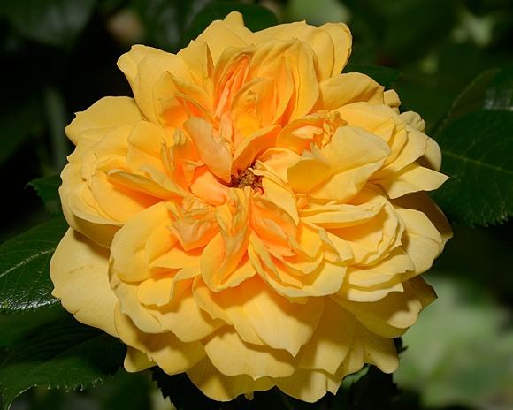 Leah Tutu rose сорт розы фото