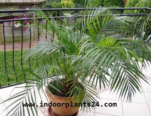 Chrysalidocarpus Lutescens plant