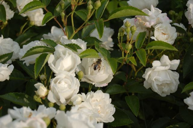 romantische rozentuin. Geurende rozen
