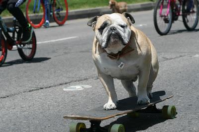 Bulldog Inglés perro versátil