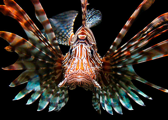 Terrierman S Daily Dose Lionfish Hunting In Florida