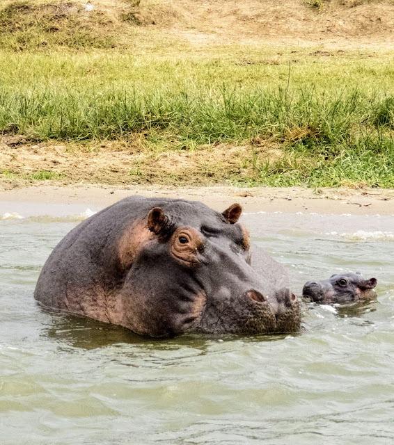 Mamma hippo with baby in Uganda's Kazinga Channel
