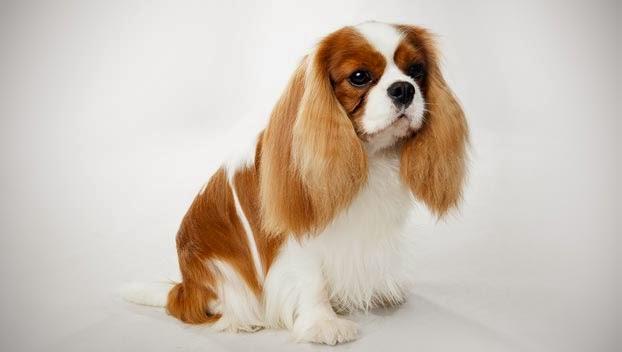 Cute Cavalier King Charles Spaniel Guide Puppy