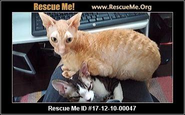 http://cornishrex.rescueme.org/Michigan