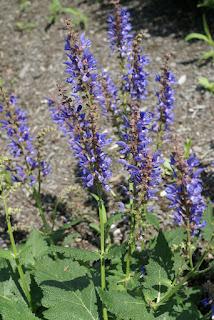 Sauge de Transylvanie - Salvia transsilvanica