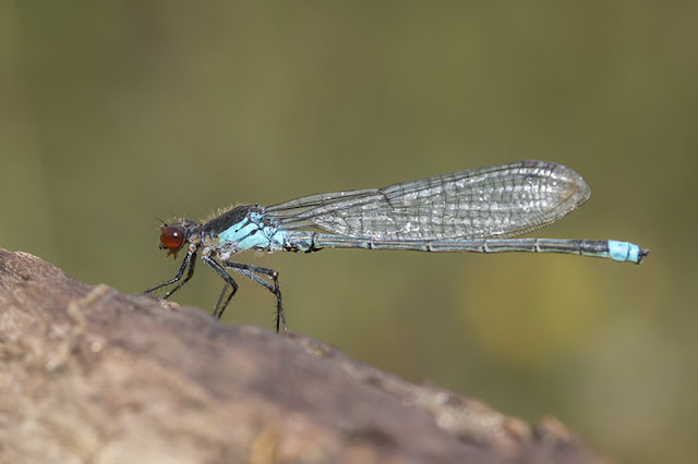 Full on side view of Red-Eyed Damselfly