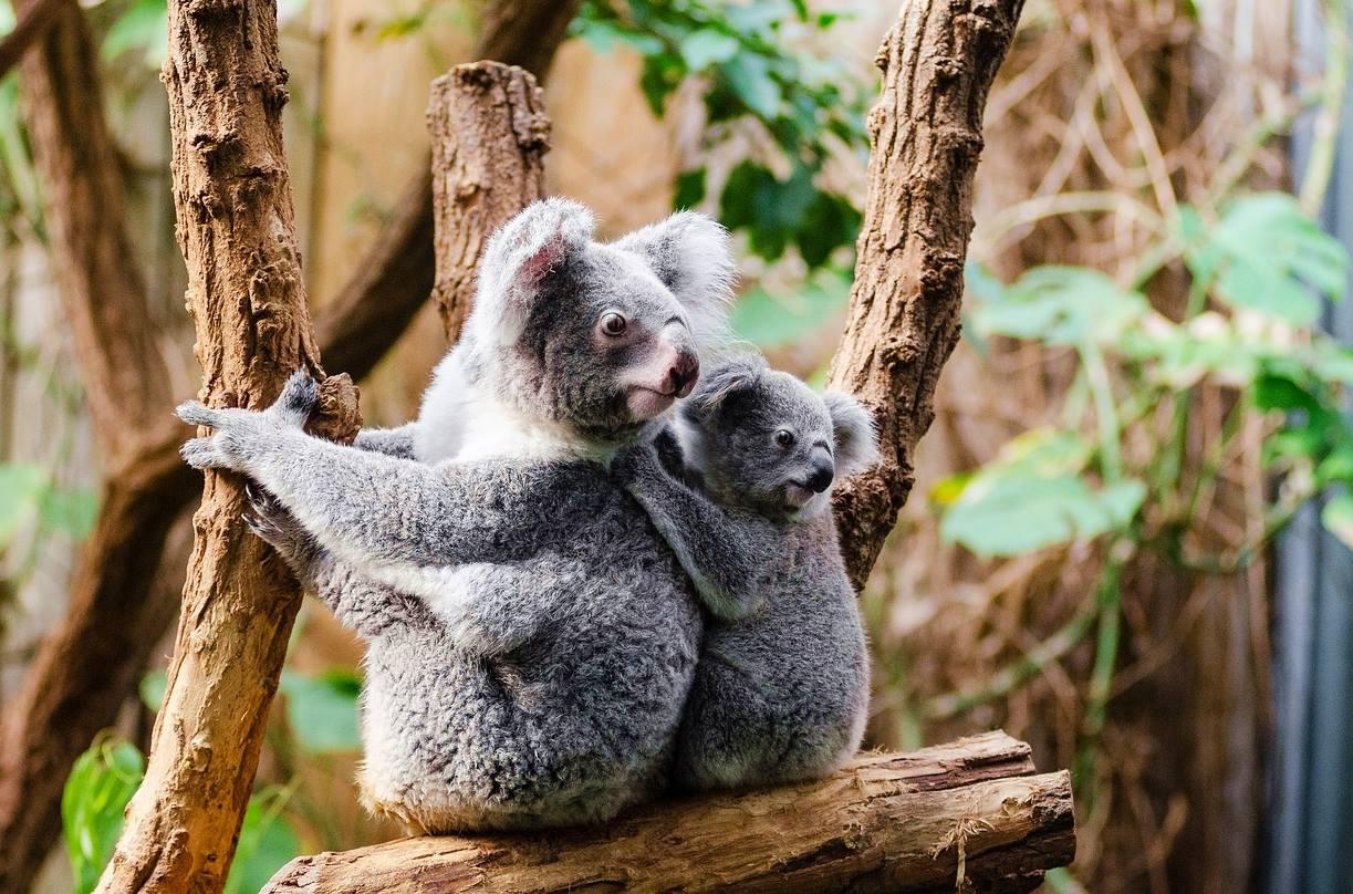 澳洲-昆士蘭-布里斯本-黃金海岸-動物園-龍柏動物園-袋鼠-推薦-必玩-必去-自由行-景點-旅遊-Australia-Zoo-Lone-Pine-Koala-Sanctuary