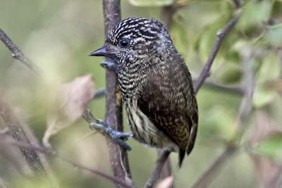 Ecuadorian Piculet