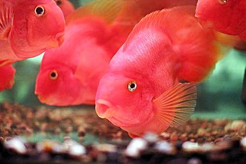 Asal Mula Ikan Louhan