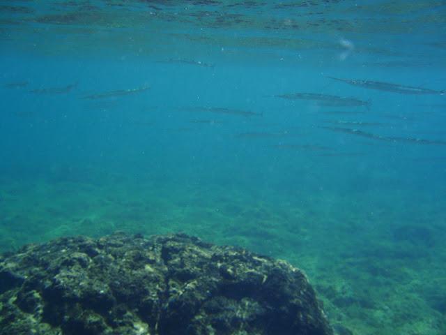 Hornhecht © Canarian Sea 04