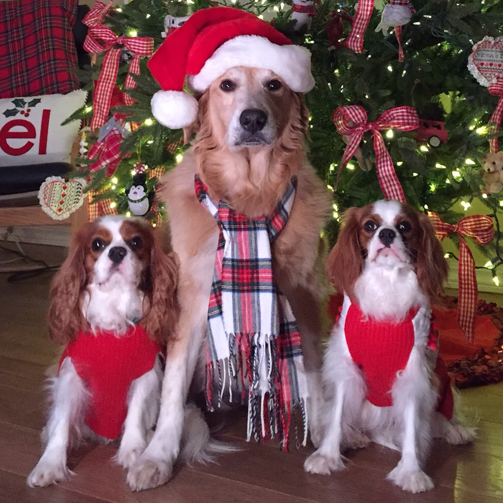 Blenheim Cavalier King Charles Spaniels and Golden Retriever by Christmas tree
