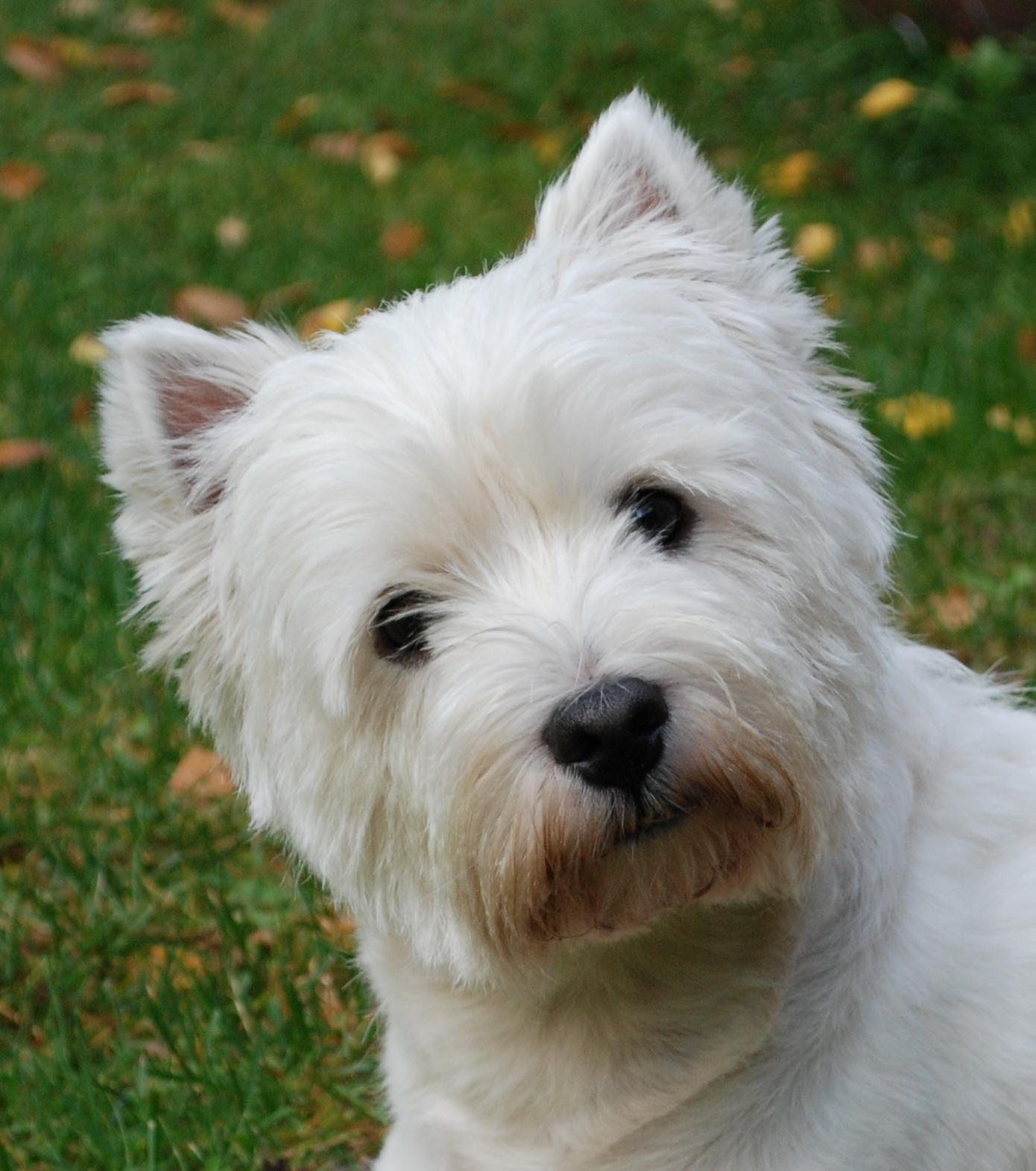 Valkoinen Pieni Koira