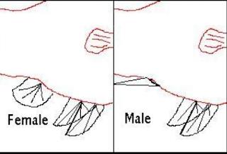 Gambar ikan molly jantan dan betina