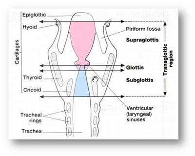 struktur-anatomi-laring