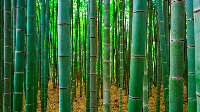 34 Fakta Bambu Yang Mungkin Belum Kamu Ketahui
