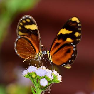 two butterflies touching heads